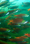 Sockeye_salmon_spawning_pacific_hp_145